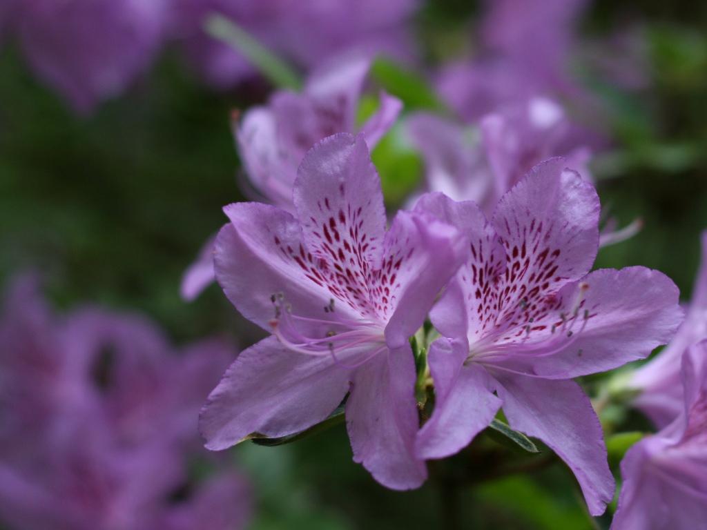 rododendrony-a-azalky