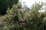ruza-arboretum-zvolen