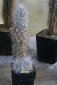 oreocereus