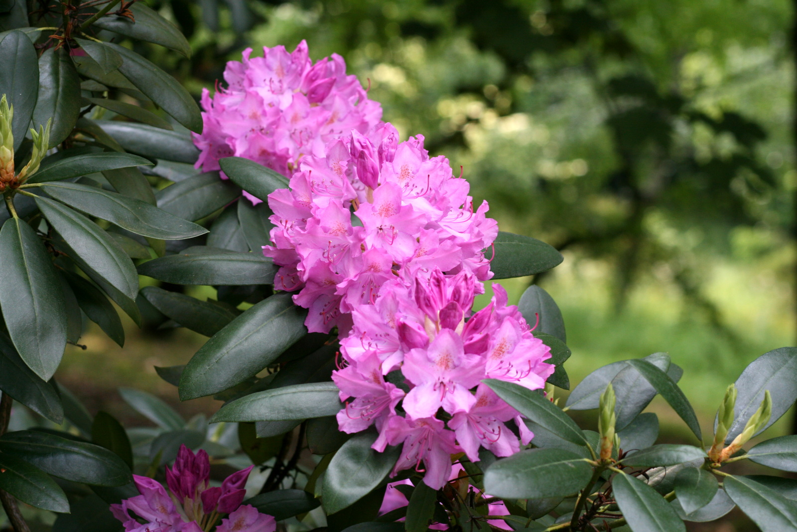rododendrony-a-azalky-zvolen-4