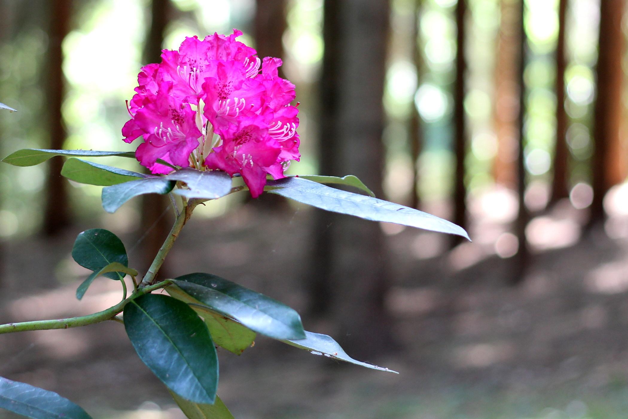 rododendrony-2012-borova-hora-11
