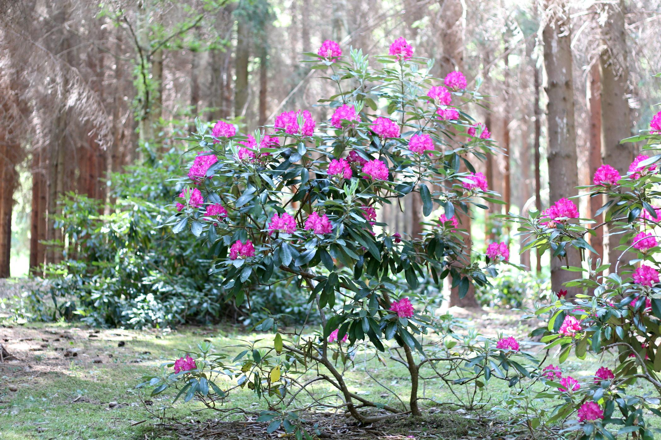 rododendrony-2012-borova-hora-12