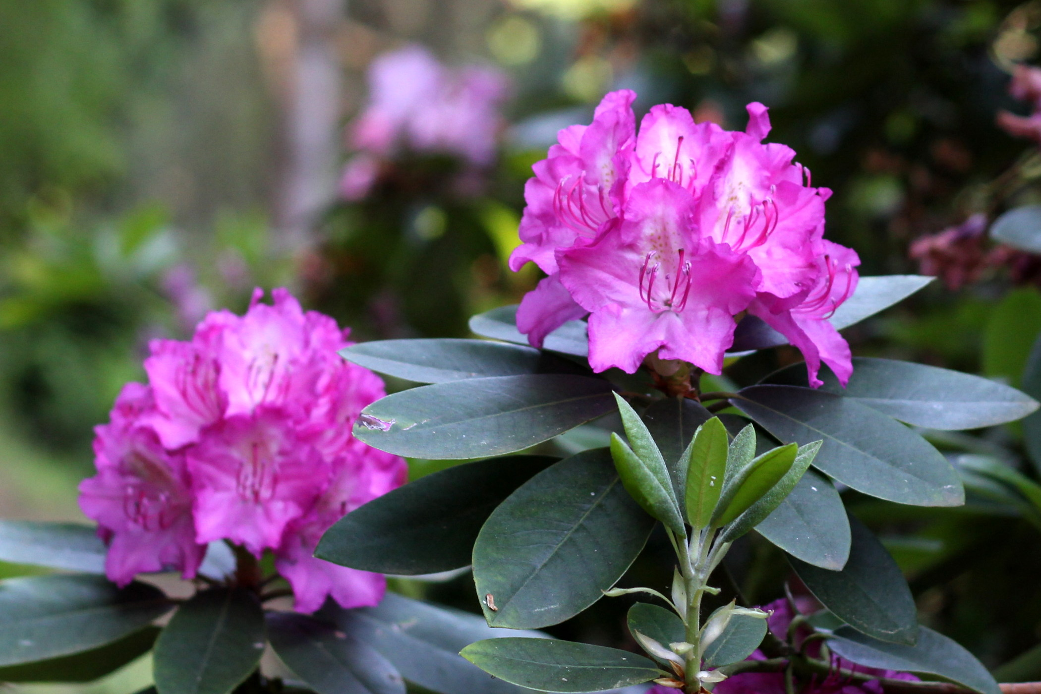 rododendrony-2012-borova-hora-4