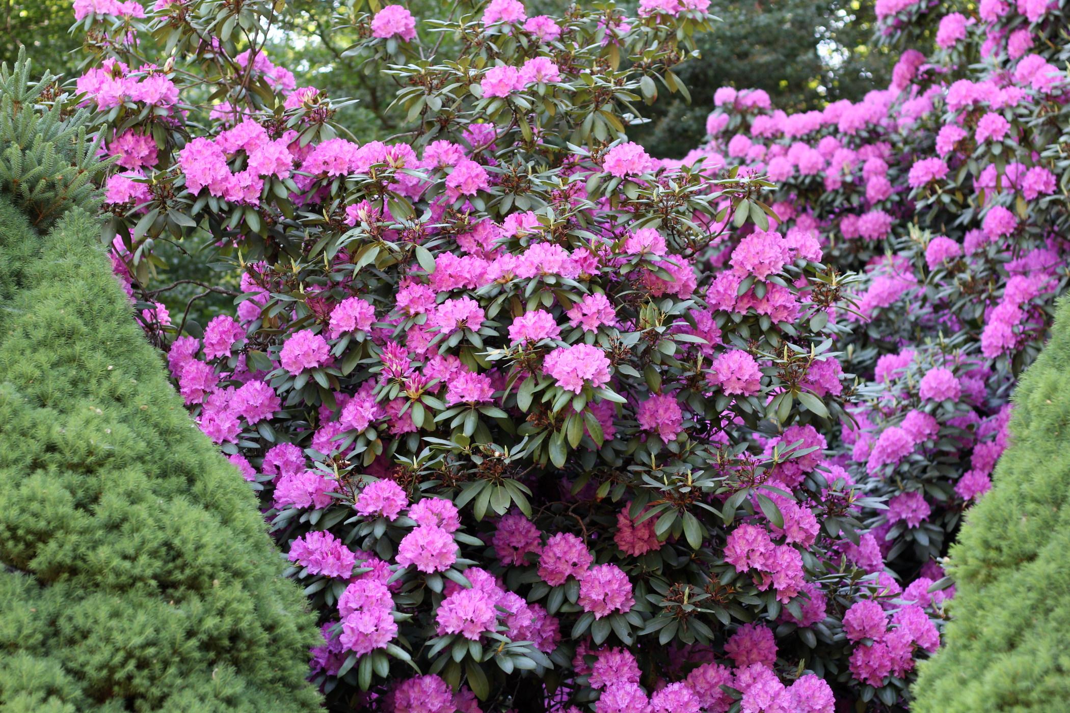 rododendrony-2012-borova-hora-5