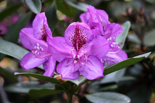 rododendrony-2012-borova-hora-7