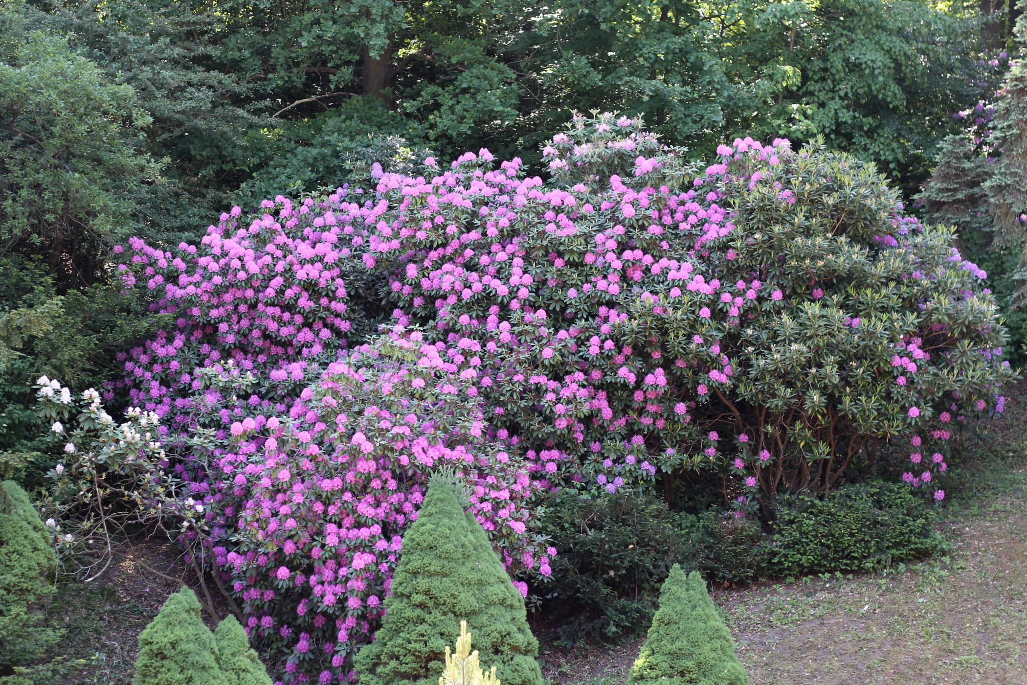 rododendrony-2012-borova-hora-8