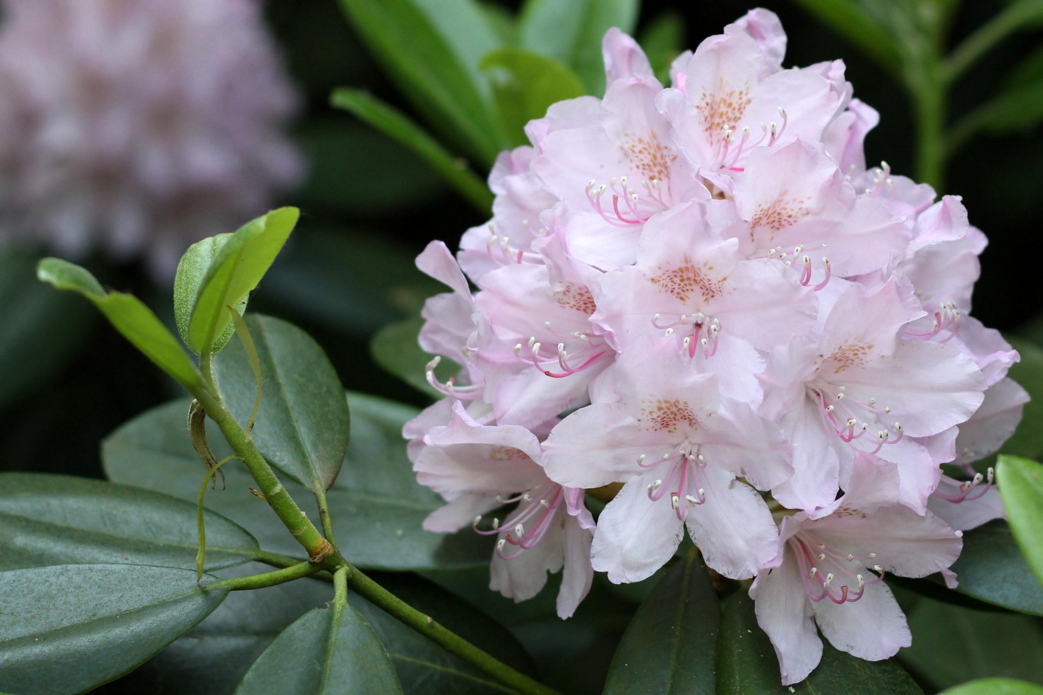 rododendrony-2012-borova-hora-9