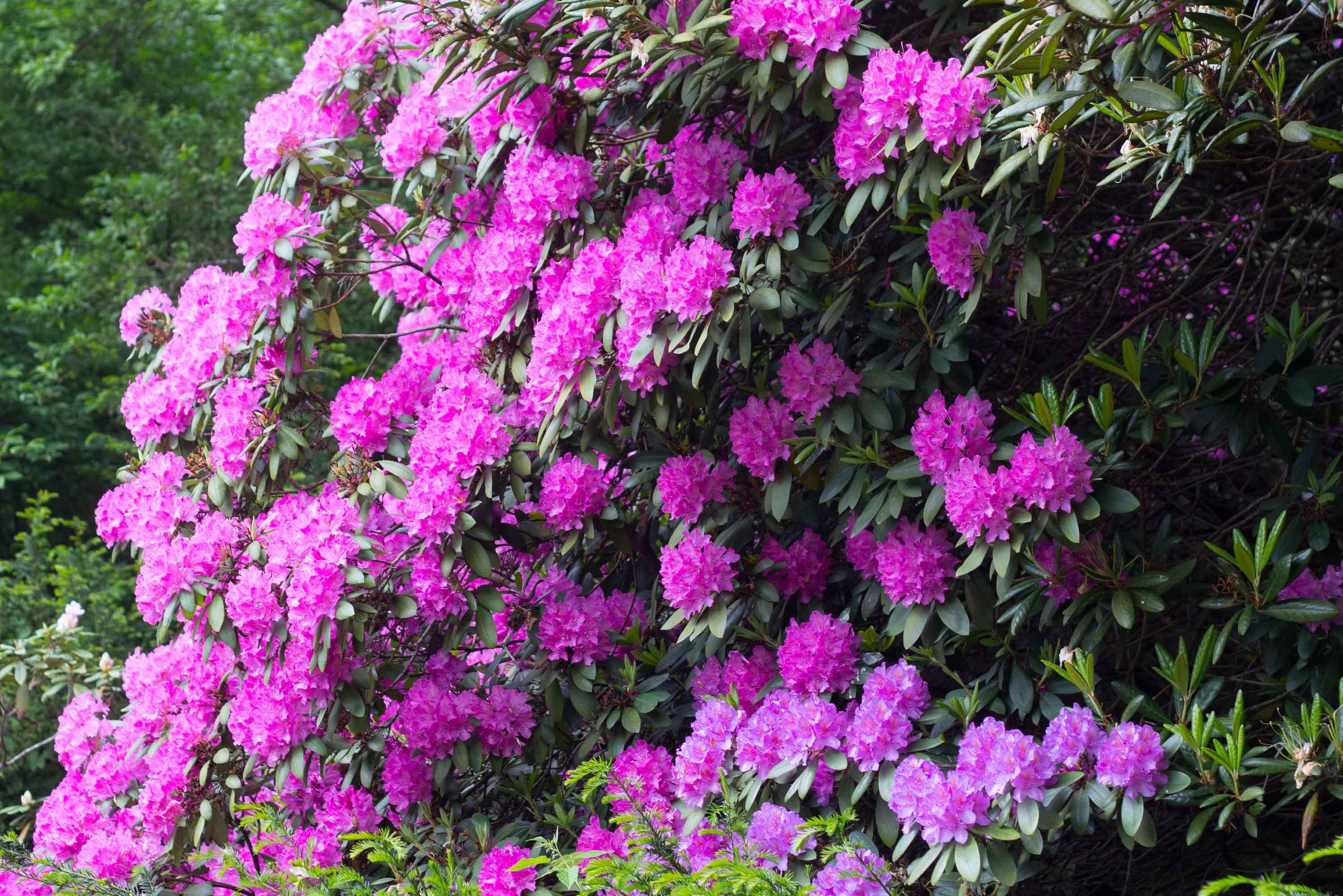 rododendrony-azalky-2013-arboretum-zv-10