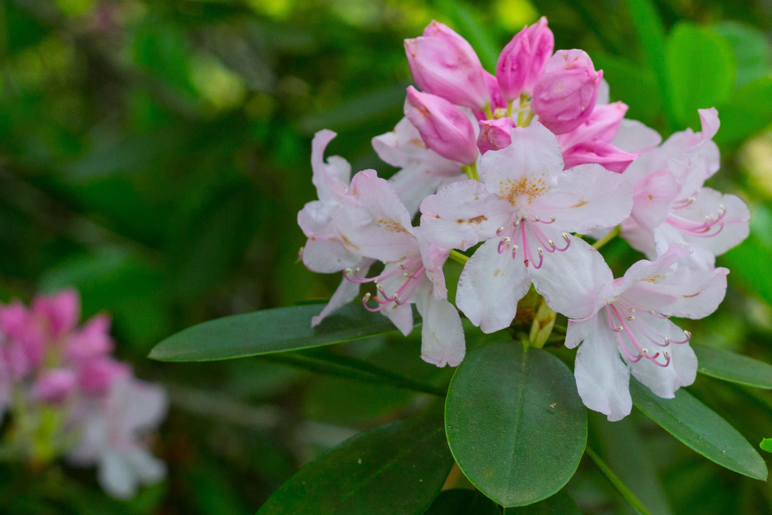 rododendrony-azalky-2013-arboretum-zv-13