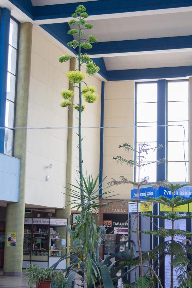 agave-zvolen