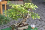 bonsaje-na-zvolenskom-zamku-6