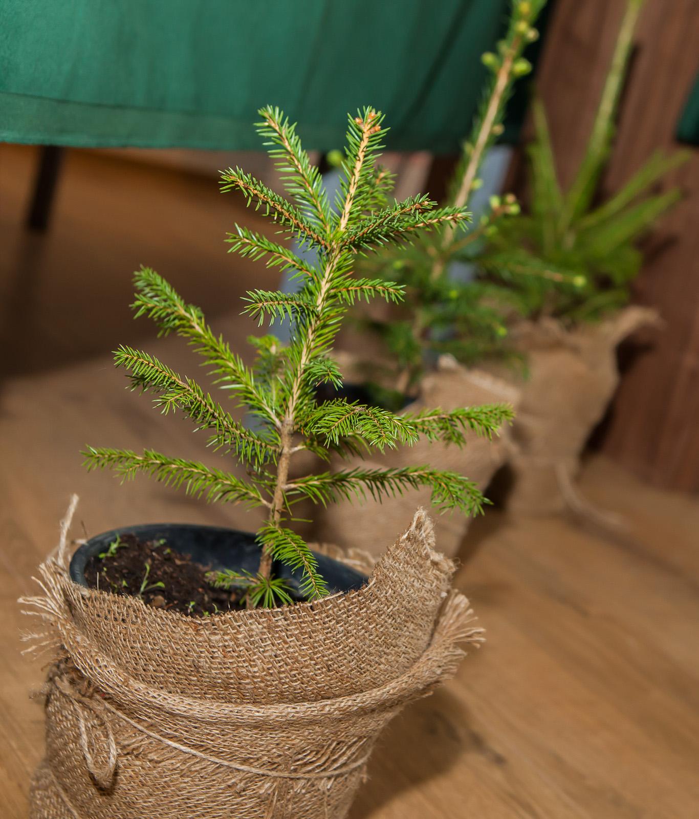 stromcek-sadenicka