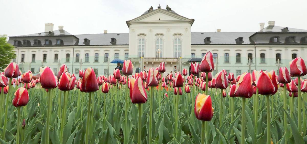 Zvolen prijme 1000 kusov špeciálne vyšľachteného tulipánu